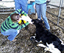 Alfred University attended a hands-on training collaboration in Large Animal Handling