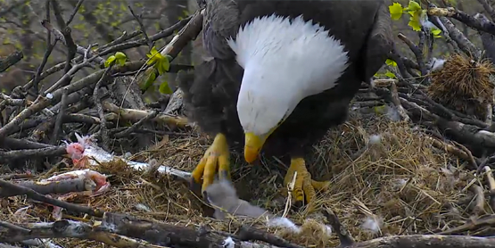 female bald eagle and the newly hatched eaglet