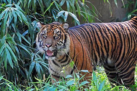 photo of a Bengal tiger